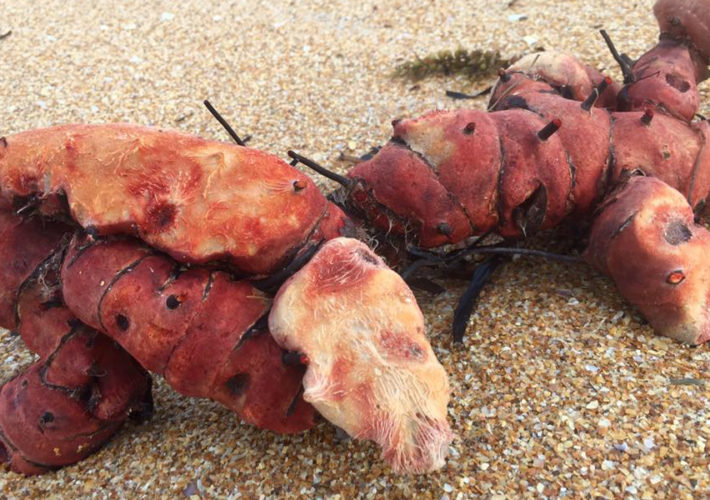 Lobster Potato Discovered by Emmetts Expeditions